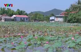 Thừa Thiên Huế mất mùa sen