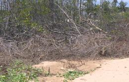 Nguy cơ biến mất rừng ngập mặn Tuần Lễ do lấn chiếm đất