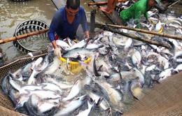 Chủ DN ôm tiền bỏ trốn, chuỗi liên kết cá tra ở An Giang đổ vỡ