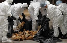 Trung Quốc bùng phát đợt cúm gia cầm mới