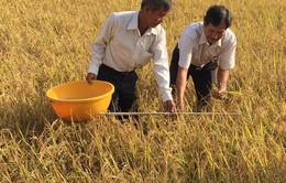 Nhiều địa phương đẩy mạnh sản xuất lúa hữu cơ