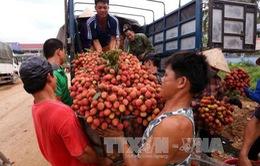Vải Bắc Giang đáp ứng yêu cầu tiêu thụ mới