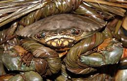 Giá cua biển Bạc Liêu tăng mạnh