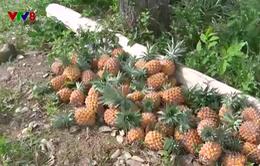 Nông dân Phú Yên bỏ dứa không thu hoạch