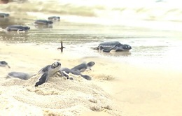 Quảng Nam: Cù Lao Chàm thả 115 rùa con ấp nở ra biển