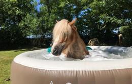 Ngựa được đắp mặt nạ, tắm nắng, massage như người