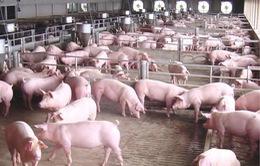 Giá lợn hơi tăng bất thường, người chăn nuôi lo ngại