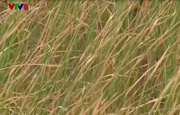 Bình Định: Mất trắng vụ hè thu vì nắng hạn kéo dài