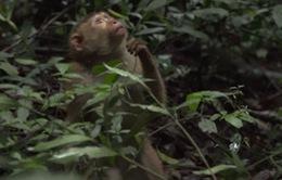 Đà Lạt: Thả 9 cá thể khỉ về rừng Hồ Tuyền Lâm