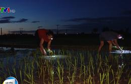 Tránh nắng nóng, nông dân Hà Nội cấy lúa đêm