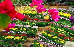 Lâm Đồng gặp khó trong nhập khẩu giống hoa