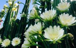 """Hàng hoa xương rồng đẹp như mơ ở Sóc Trăng gây """"sốt"""" mạng"""