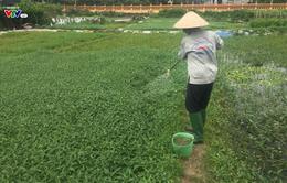Phun thuốc trừ sâu: người trồng rau loay hoay, người tiêu dùng vẫn có nguy cơ bị đầu độc