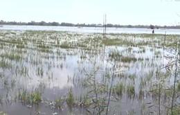 Nông dân Đồng Tháp hối hả thu hoạch lúa chạy lũ