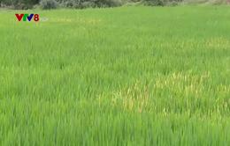Thừa Thiên Huế: Nhiều diện tích lúa bị bỏ hoang do thiếu nước