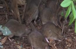 Pháp: Thủ đô Paris khốn đốn vì chuột
