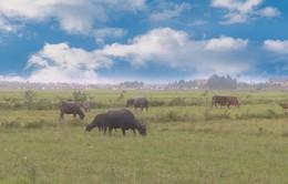 Quảng Bình chăn thả trâu bò phải trả phí cho Hợp tác xã