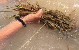 VIDEO: Lũ về nhanh nhấn chìm nhiều diện tích lúa, hoa màu ở  ĐBSCL