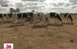 Nông dân nuôi bò đối phó với nắng hạn ở châu Âu