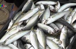 Ngư dân Quảng Trị vui mừng vì được mùa cá lạ