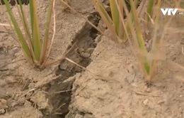 Hơn 1.000ha lúa tại Bình Định bị khô hạn