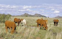 Nông dân châu Âu nỗ lực bảo vệ đàn gia súc trước nắng hạn