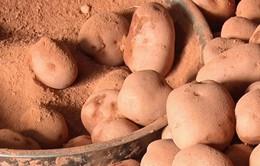Phát hiện thêm cơ sở trộn đất đỏ để mạo danh khoai tây Đà Lạt