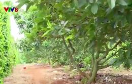 Đắk Nông: Nông dân mất tiền tỷ vì bơ không trái