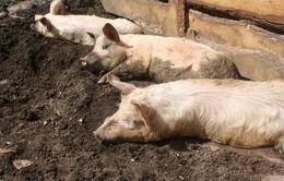 Bùng phát dịch cúm lợn tại Romania