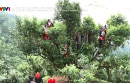 Chuyện nhà nông với nông nghiệp: Chuyện về cây chè shan tuyết cổ thụ ở Hoàng Su Phì