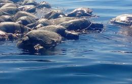 Rùa biển quý hiếm chết hàng loạt tại Mexico