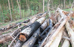 Phó Chủ tịch xã liên quan vụ phá rừng tại Lâm Đồng bị tạm đình chỉ công tác