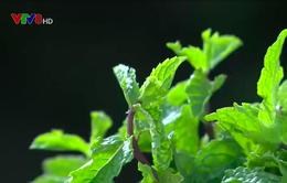 Lãng quên lợi thế rau thơm ở miền Trung