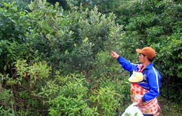 Mùa sim rừng - mùa bội thu của người dân vùng cao Quảng Ngãi