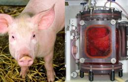 Thử nghiệm cấy ghép thành công phổi sinh học trên lợn