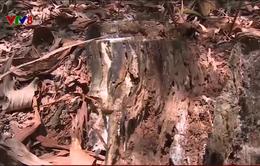 """Lỗ hổng quản lý trong vụ """"xẻ thịt"""" hơn 170 ha rừng thông"""