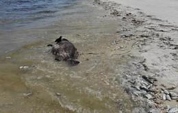 Thủy triều đỏ độc hại xuất hiện ở nhiều bãi biển Mỹ