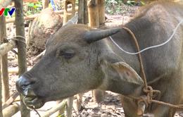 Nghệ An: Hàng chục trâu bò chết do bệnh tụ huyết trùng