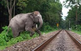 Ấn Độ phát tiếng ong kêu đuổi voi khỏi đường tàu