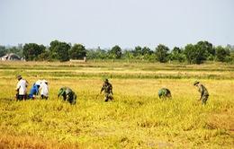 Đồng Tháp tổ chức cho người dân gặt lúa chạy lũ