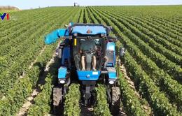 Trải nghiệm thu hoạch nho làm rượu vang tại Bỉ