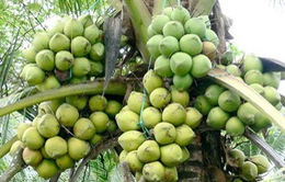 Cách phân biệt dừa dứa và dừa xiêm xanh
