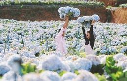 Vườn cẩm tú cầu đẹp ngất ngây khiến ai cũng muốn đến Đà Lạt check-in ngay