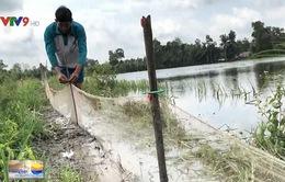 Lũ lớn, nông dân Hậu Giang nuôi cá trên ruộng thay lúa vụ 3
