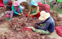Hành tím mất giá mạnh, nông dân Ninh Thuận gặp khó