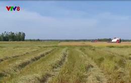 Thừa Thiên Huế khẩn trương thu hoạch lúa hè thu