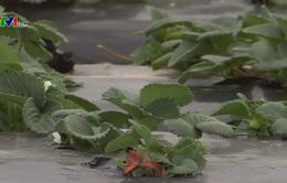 Ngành trồng dâu Australia điêu đứng vì kim khâu