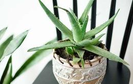 10 loại cây trồng trong nhà thanh lọc không khí cực tốt