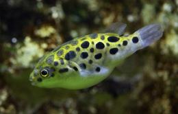 Dùng cá nóc làm bài thuốc chữa bệnh: Coi chừng nguy cơ ngộ độc!