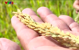 Nâng cao thu nhập cho nông dân từ chuỗi liên kết sản xuất lúa